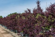 Cotinus Royal Purple Shrubs £60