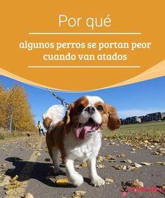 Por qué algunos perros se portan peor cuando van atados  ¿Por qué cuando algunos perros están atados responden o reaccionan de forma diferente a cuando están sueltos? Te lo contamos y te damos unas sugerencias. #comportamiento #paseo #adiestramiento #atados