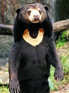 The Sun Bear is a bear found primarily in the tropical rainforests of Southeast Asia. The Sun Bear stands approximately 1.2 m (4 ft) in length, making it the smallest member in the bear family.