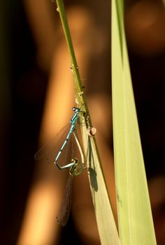 """Title:"""" Great lovers"""". Dragonfly in my garden."""
