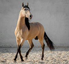 lustiano horse