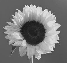 Sunflower `✿.¸¸.Ƹ✿Ʒ.¸¸.✿´