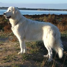 The Maremma sheepdog is a majestic, agile dog with a thick white weatherproof coat. It is named after the plains in southern Tuscany: the Maremma was used for. Maremma Dog, Maremma Sheepdog, Mastiff Breeds, Rare Dog Breeds, Great Pyrenees, Dog Memorial, White Dogs, Cute Funny Animals, Beautiful Dogs