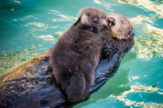 A young sea otter floating aboard its mother in the Monterey Bay Aquarium's Great Tide Pool