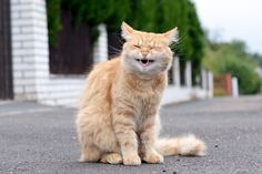 laughter in the frame of my red cat it's wonderful so nice to see it Funny Cats, Funny Animals, Cute Animals, Talking Animals, American Bobtail Cat, Angora Cats, Owning A Cat, Red Cat, Yellow Cat
