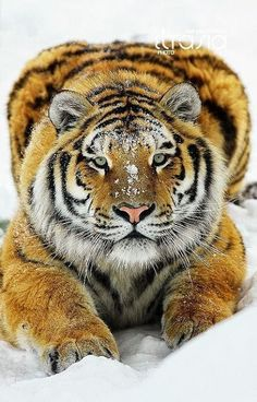 Gorgeous Siberian tiger largest of the big cats. Also an endangered species. I Love Cats, Big Cats, Cats And Kittens, Nature Animals, Animals And Pets, Cute Animals, Beautiful Cats, Animals Beautiful, Regard Animal