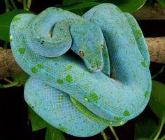 High blue green tree python.