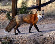 Red fox--beautiful!
