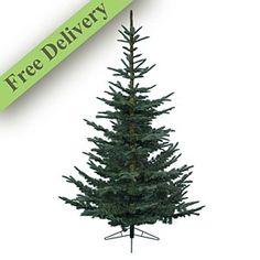 Nobilis fir