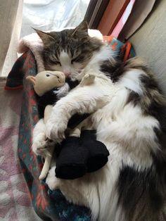 #Cats  #Cat  #Kittens  #Kitten  #Kitty  #Pets  #Pet  #Meow  #Moe  #CuteCats  #CuteCat #CuteKittens #CuteKitten #MeowMoe      猫のぬいぐるみとお昼寝︎⡱  (@0506315)さんより #CuteCats...   https://www.meowmoe.com/33432/