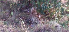 Jaguars battle python in South African national park