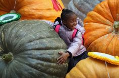 Giant Pumpkins at this years #RHSLondon harvest festival 2014 - amazing how dedicated people are to horticulture