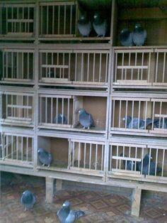 Racing Pigeon RSM