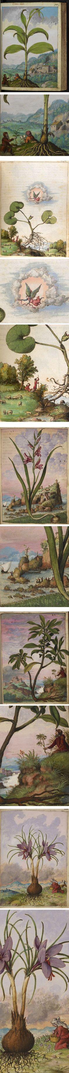 Gherardo Cibo's 16th century watercolor illustrations of medicinal herbs
