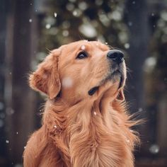 """Check out our site for more relevant information on """"Golden Retriever dogs"""". It is an exceptional place for more information. Cute Dogs And Puppies, Baby Dogs, Doggies, Chien Golden Retriever, Golden Retrievers, Cute Dog Wallpaper, Retriever Puppy, Dog Photography, Cute Baby Animals"""