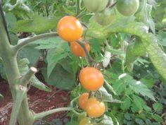 Sungold es un cherry mas pequeñito que los normalmente conocidos ,es un tomate originario de japon, de color naranja, bonita textura y muy dulzón