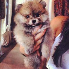 <3 Pomeranian Pom Pom Puppy Dog Photography Puppies Doggie Pup