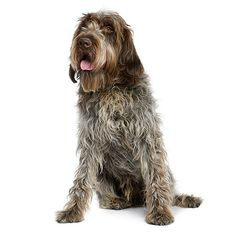 COPPER Wirehaired Pointing Griffon: The Wirehaired Pointing Griffon is a skilled hunting dog and an excellent family pet. They are people-oriented and thrive on human companionship. Huge Dogs, All Dogs, Best Dogs, Griffin Dog, Wirehaired Pointing Griffon, Hunting Dogs, Grouse Hunting, Springer Spaniel, Bichon Frise