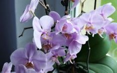 Though not for the novice, orchids are very popular houseplants due to their unique look and the challenge of growing them. Unlike many plants that can give you a lovely green cascade of leaves, orchids… Moth Orchid, Orchid Plants, Orchid Care, Crassula Ovata, Growing Orchids, Growing Plants, Gardening For Beginners, Gardening Tips, Organic Gardening