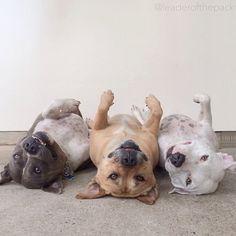 Upside down pitbulls