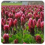 Organic Crimson Clover- cover crop