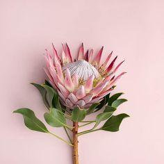 Flor Protea, Protea Art, Protea Flower, Floral Flowers, Blossom Flower, My Flower, Flower Art, Botanical Drawings, Botanical Prints