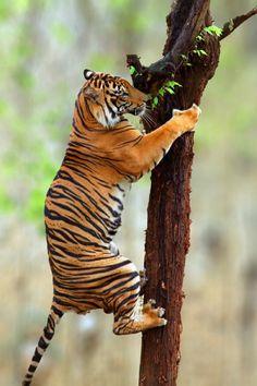 drxgonfly:  Tiger climb (by Prabu dennaga)