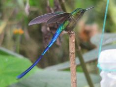 Violet-tailed Sylph - more tail than is needed, really.