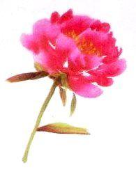 Le pivoine en peinture chinoise xieyi, la fleur vue de dessus