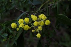 Golden Wattle. The floral emblem of Australia - and the first sign of Spring!