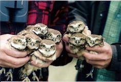 omg cuteeeee! so many tiny owls!