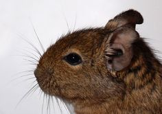 Degus are rodents that are native to Chile. They look a lot a large Gerbil, but are a bit larger. They can grow up to a foot long, including their tail. Their tails have a small tuft of hair at the end, which has earned them the nickname of. Pet Rodents, Chinchillas, Hamsters, Degu Cage, Animals And Pets, Funny Animals, Gerbil, Exotic Pets, Pet Shop