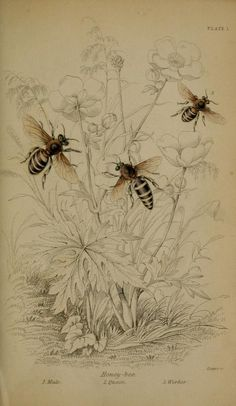 ≗ The Bee's Reverie ≗  botanical bee antique print