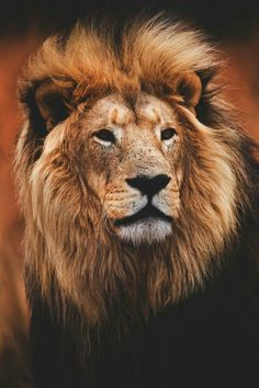 Lion – Wildlife Reference Photos for Artists Mundo Animal, My Animal, Big Cats, Cool Cats, Beautiful Cats, Animals Beautiful, Animals And Pets, Cute Animals, Lion And Lioness