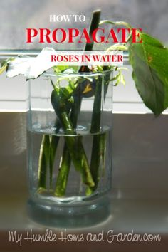 How to Propagate Roses From Your Valentine Bouquet. Click through for how to root roses in water. How to Propagate Roses From Your Valentine Bouquet. Click through for how to root roses in water. Gardening For Beginners, Gardening Tips, Organic Gardening, Gardening Services, Gardening Supplies, Indoor Gardening, Indoor Plants, Bucket Gardening, Balcony Gardening
