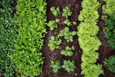 """Companion Gardening Incompatible Garden Plants: Learn About Plants That Don't Like Each Other. You'll finds lots of information on """"companion planting,"""" but here is some great information on plants that actually prefer not to mingle. Fall Vegetables, Planting Vegetables, Organic Vegetables, Growing Vegetables, Perennial Vegetables, Root Veggies, Gardening For Beginners, Gardening Tips, Gardening Quotes"""