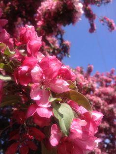 Beautiful pink Hawthorne blooms.