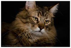 Pixie-Bob Cats Cattery | Cattery Dutch Pixiebob » De Pixiebob