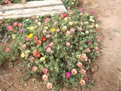 The moss rose ( portulaca) has grown and bloomed so lovely this year! Dry Garden, Garden Pests, Zinnias, Petunias, Heavy Water, Water Hose, Garden Spaces, Chill, Seeds