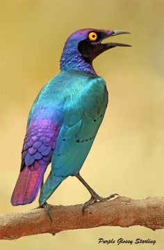 Purple glossy starling. Definitely in the running for shiniest bird on the planet.