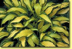Hosta First Mate; photo courtesy of Naylor Creek Hostas