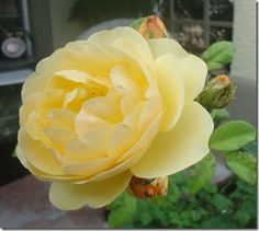 Judy's Cottage Garden: 7 Favorite Yellow Roses