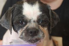 This is Barnabee!  He is 7yrs old and a Shih Tzu who is available for adoption at the HBSPCA www.hbspca.com