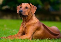 RHODESIAN RIDGEBACK This South African beast is a companion to safari hunters, keeping lions away while the hunter collects his kill.