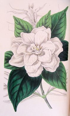 gardenia Drawing | Figured are glossy lance-shaped leaves and large, double white flower ...