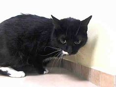 TO BE DESTROYED 7/19/14 ** PRETTY TUXIE KITTY!! Sunny tolerates attention and petting but is cautious in the shelter; may be a little more independent, and may need time to warm up to his or her new home. ** Brooklyn Center  My name is SUNNY. My Animal ID # is A1004178. I am a spayed female black and white domestic sh mix. The shelter thinks I am about 3 YEARS old.  I came in the shelter as a STRAY on 06/22/2014 from NY 11221