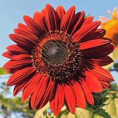 Sunflower Velvet Queen - Annual Flower Seeds