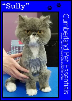 Sully feels much lighter with his new hairdoo! Cat Hairstyles, Cat Grooming, Sully, Pretty Cats, Lighter, Feels, Things To Come, Hair Styles, Animals