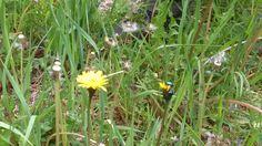 Habichtkraut mit Pillenkäfer Kraut, Plants, Pills, Plant, Planets