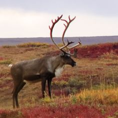 Caribou - would love to go hunting for these one day